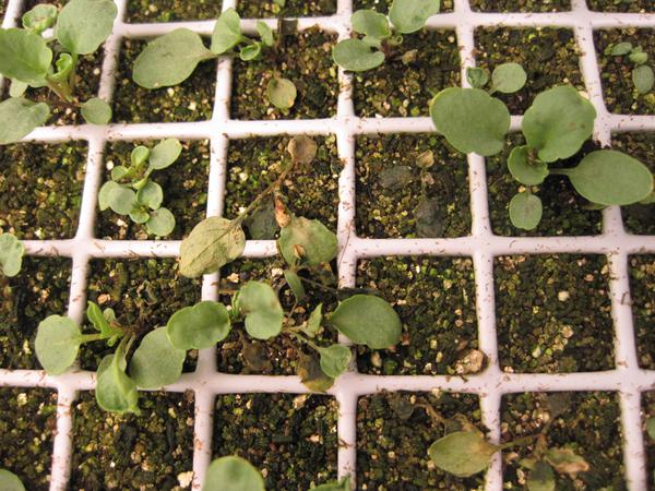 Thumbnail image for Damping-off in Flower and Vegetable Seedlings